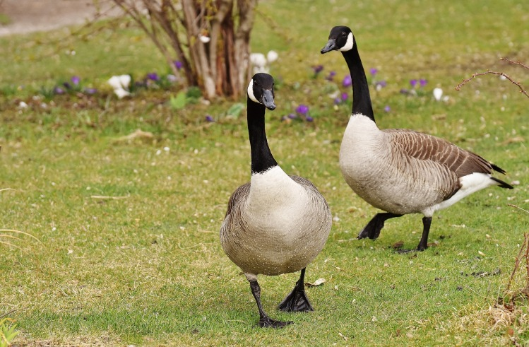 Here we see two such geese, plotting crop destruction and probably also manslaughter