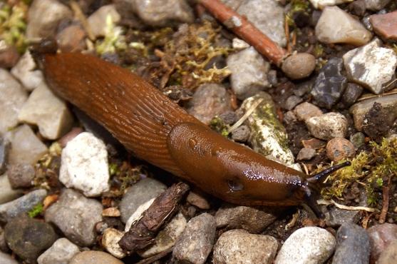 Arion-lusitanicus_Spanish-slug