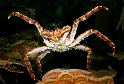 Here we see a Red King Crab singing along to YMCA by The Village People