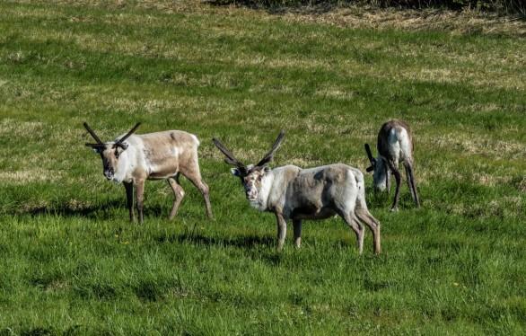 reindeer_pack_animal_mammal_nature_wild_photo_life-613667