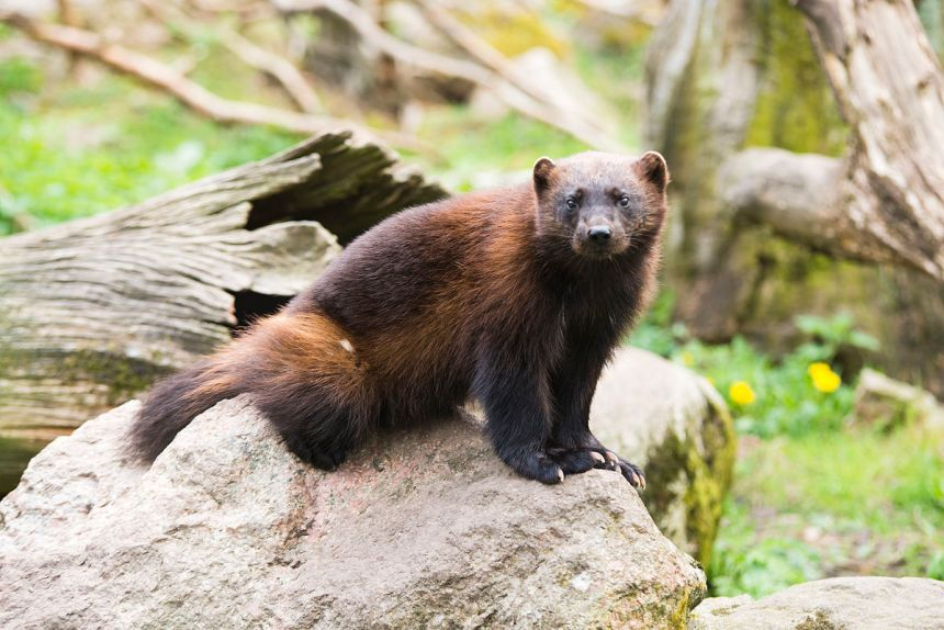 The wolverine, one of many carnivores making its way back into Scandinavia