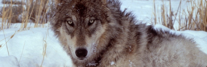 The reintroduction of wolves into Norway continues to incite controversy