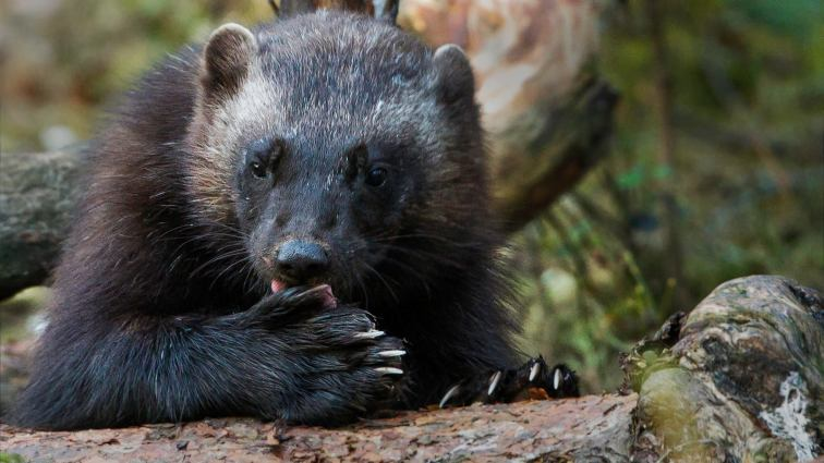 Whilst there are conservation measures in Sweden, the wolverine is actively hunted just across the border, in Norway