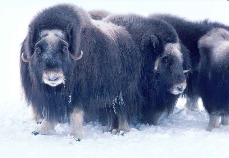 Adult_musk_ox_bulls_animals