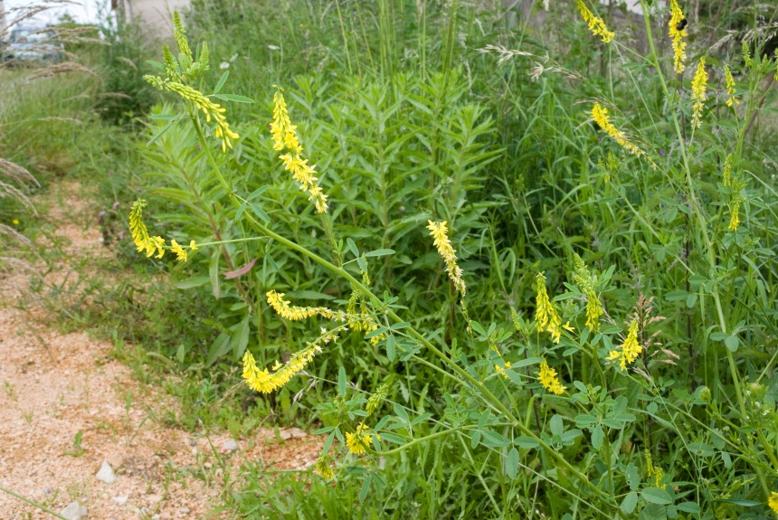 With the rebranding of Nrwaoys' Black List as the Alien Species List, we look at what makes a species alien and/or invasive (Pictured: The invasive Yellow Sweet Clover)