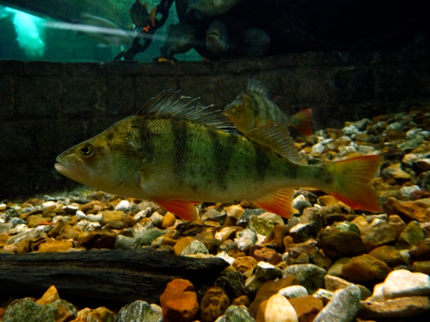 The European Perch, a species brought for angling by earlier settlers (