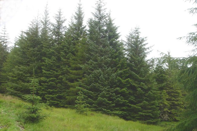The Sitka spruce has benefited the Norwegian timber industry, but has invaded quickly and with pronounced negative effects