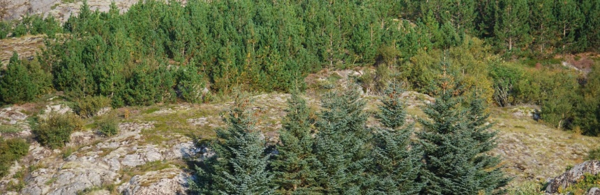 The Sitka Spruce was introduced by the timber industry, and now covers almost 5 million hectares in Norway