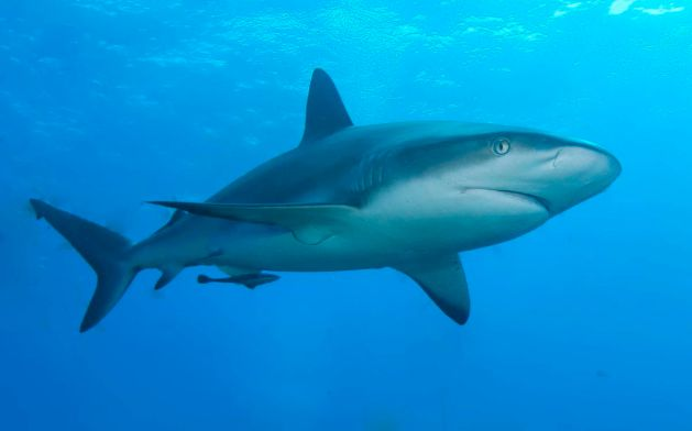 Species such as this Carribean reef shark have higher extinction risks than most fish. But how effective are our management efforts?