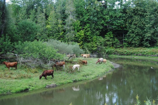 cows-beside-a-river