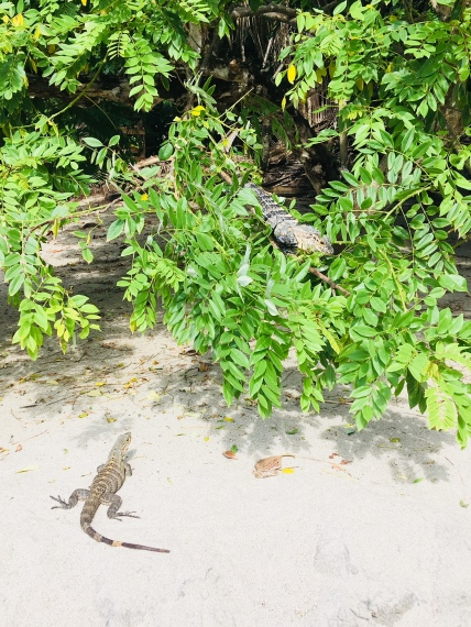 Whilst iguanas used to be a food source for the locals, local hunting is now restricted