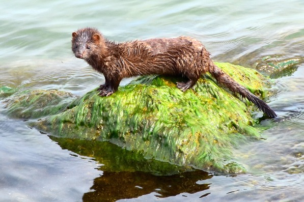 The Mink are adept swimmers, climbers and hunters, which enables them to prey on pretty much anything.