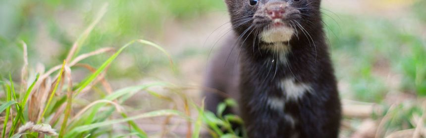 The American Mink is pretty much a Norwegian mainstay these days. So what sort of impact have they had?