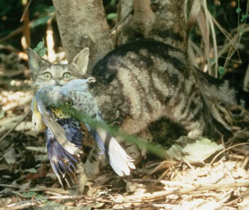 Feral cats are responsible for the decline of many endemic species worldwide. But will removing them boost rat populations, causing more potential harm?