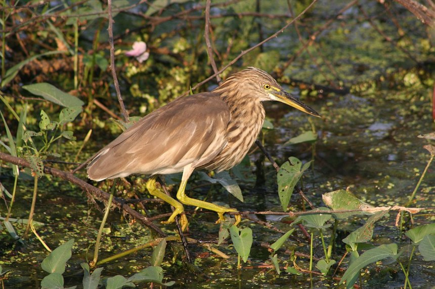 The Indian Pond Heron, one species which could face population declines as a result of climate change