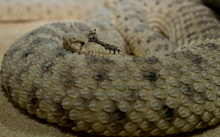 The sidewinder rattlesnake, one of many snakes that inadvertently transports seeds by swallowing small herbivores