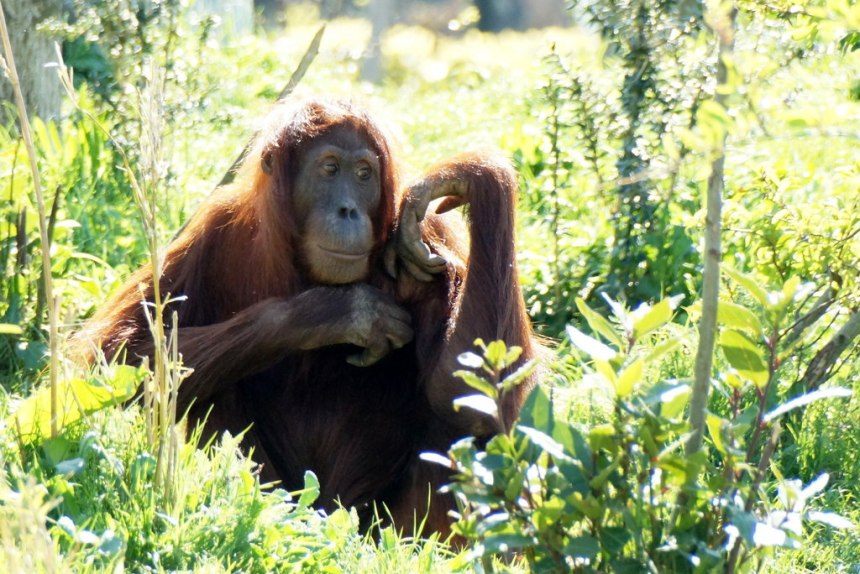 The sumatran orangutan, one of many species facing extinction in the earth's sixth mass extinction event