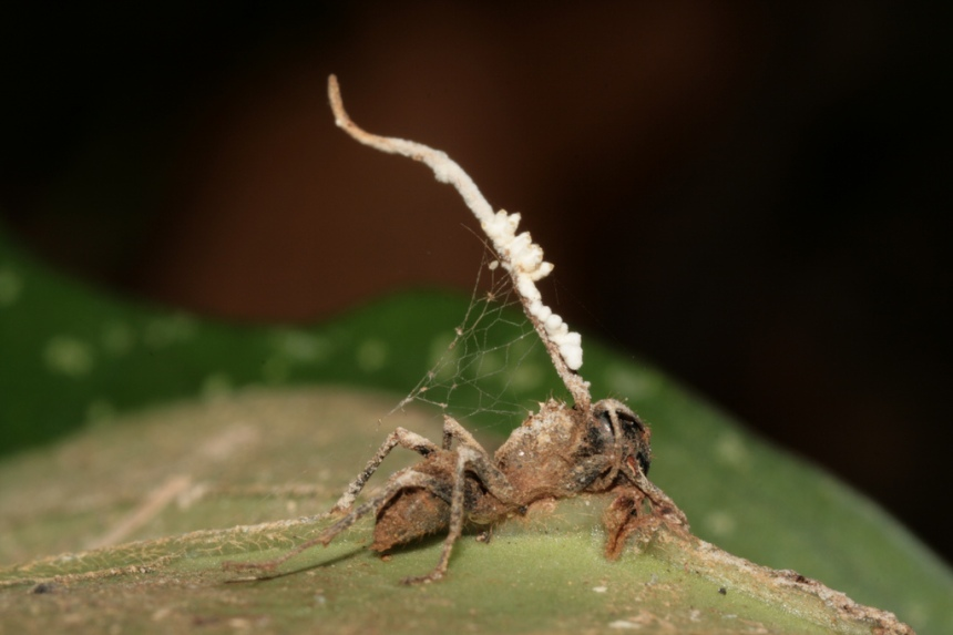 This parasitic fungus takes over the brain and then ejects its spores out of the ant's head