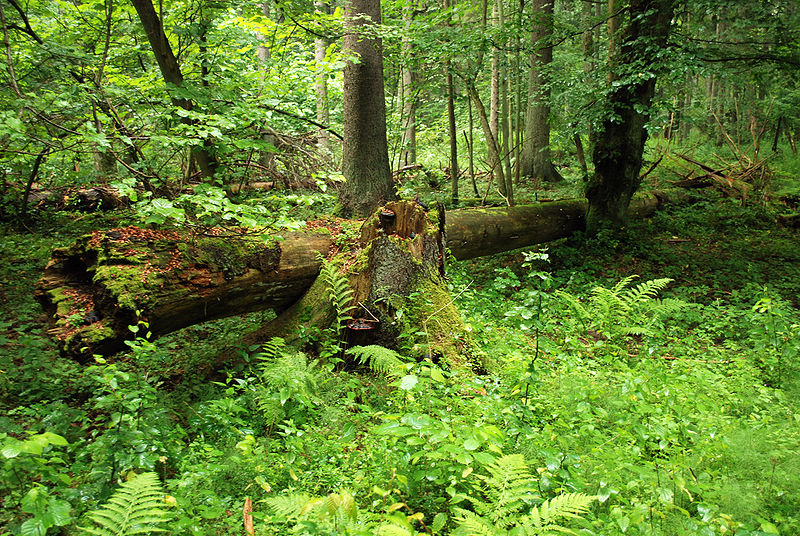 Forests such as Białowieska in Poland perform a wide range of functions, but if its biodiversity rises, how will this change?