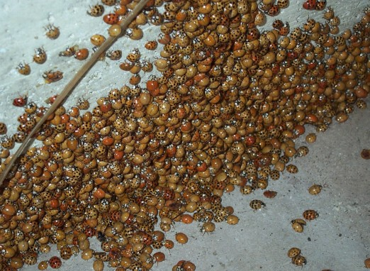 Asian_Lady_Beetle_Cluster