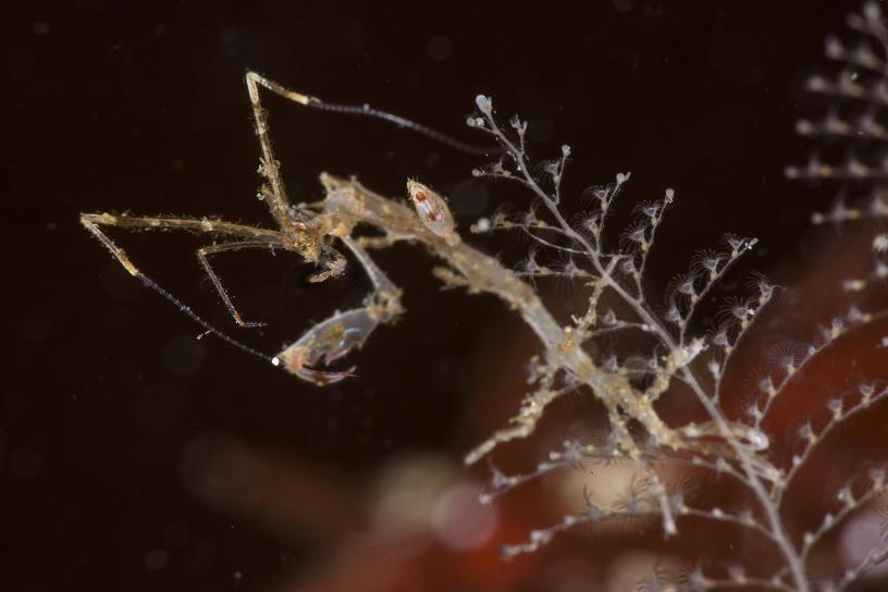 The Japanese skeleton shrimp is responsible for the reduction of many Norwegian local species who flee in terror because LOOK AT IT