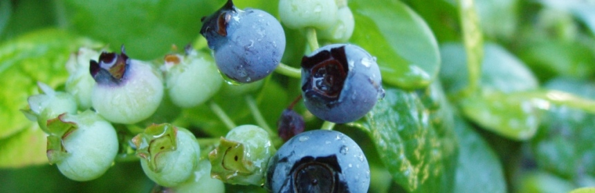 Blueberry (Vaccinium angustifolium) has been subjected to increasing levels of chewing herbivory last 112 years. This remarkable conclusion was made possible by studying 215 physical specimens of this species preserved in a university herbarium