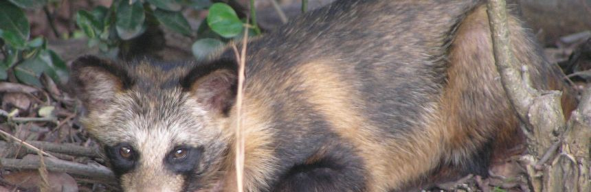 The Raccoon Dog, an alien species, has made its way to Sweden recently. But what sort of effect does it have on the native fauna?
