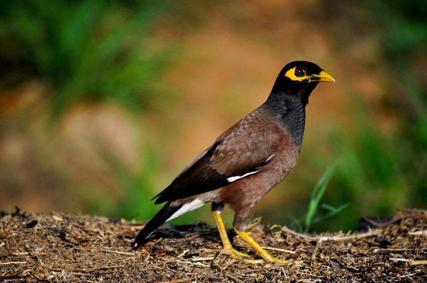 Aggressive species like the Indian Myna often outcompete other bird species. But this study shows that aggression is not always a deciding factor when it comes to beating your competition