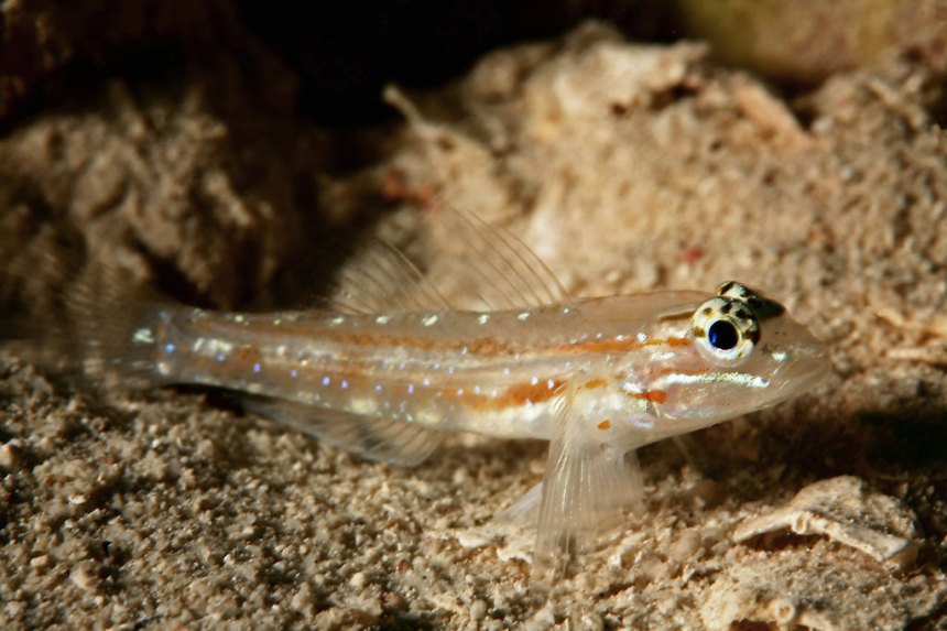 When fish like this sand goby aggregate, the density of their nests can often have a big impact on their success