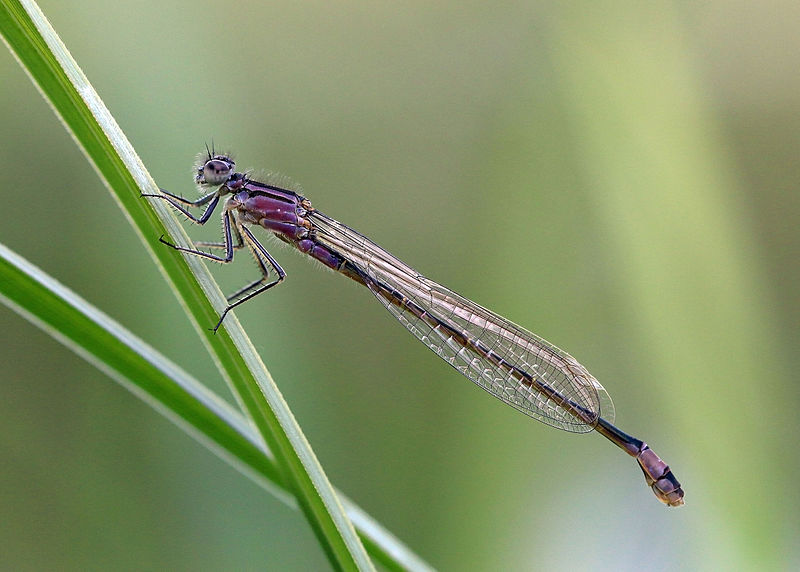 An immature female blue-tailed damselfly (Ischnura elegans)