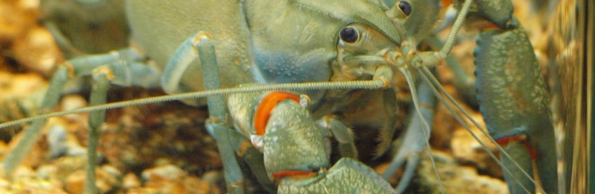 Spreading of the Australian yabby has led to decreases in other local species. But what happens when these species meet?