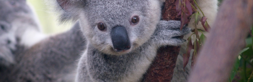 Koalas are gorgeous, no doubt. But does their overwhelming charisma mean that we forget about other species?