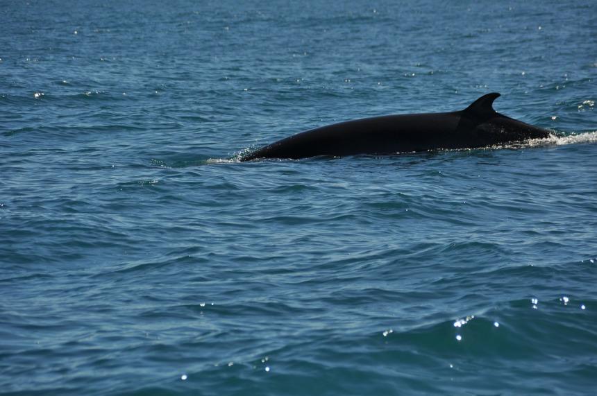 minke-whale-268242_1280.jpg