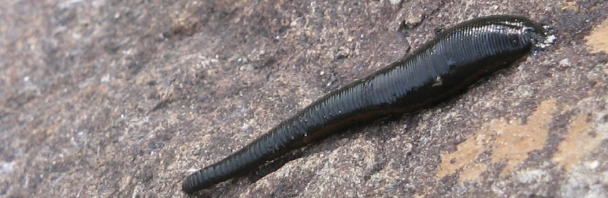 "Parasites like the leech can be found in many places all over the world, and anyone growing up near freshwater knows to check for them. But many consider these animals ""gross"", so how can we motivate the public and scientists to care about them?"