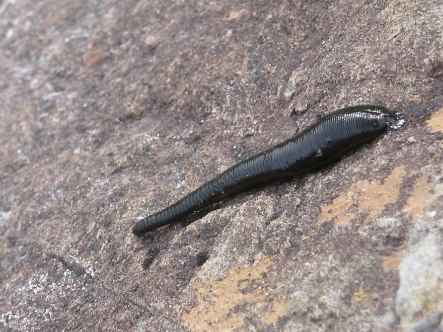 """Parasites like the leech can be found in many places all over the world, and anyone growing up near freshwater knows to check for them. But many consider these animals """"gross"""", so how can we motivate the public and scientists to care about them?"""