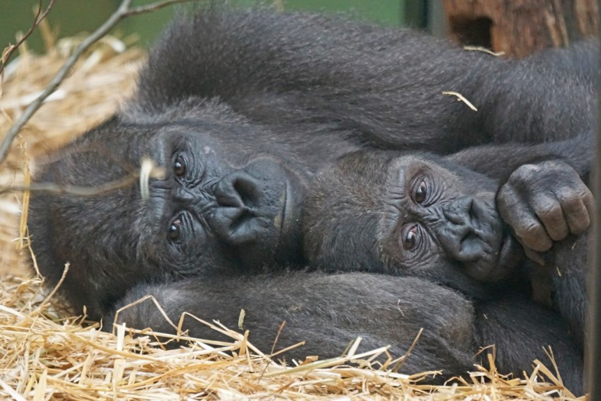animals_primates_apes_gorilla_close-672026