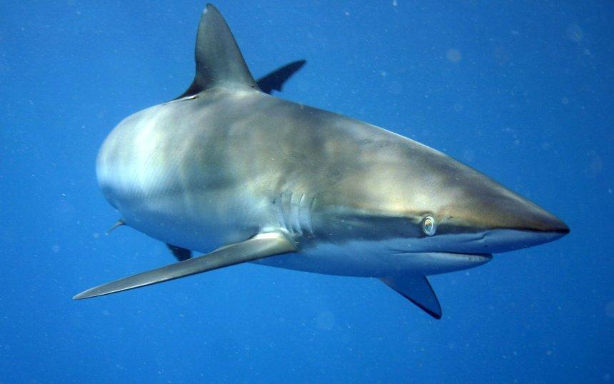 Carcharhinus_falciformis_off_Cuba