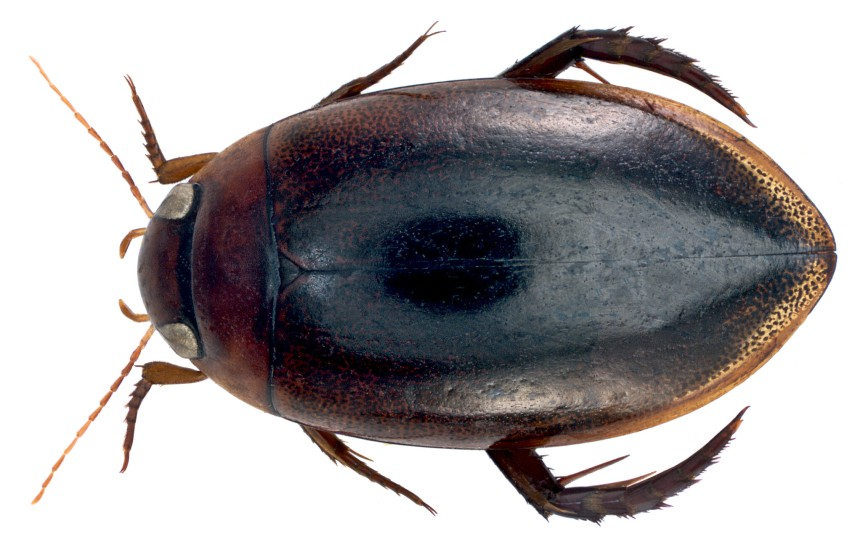 Dytiscid beetles like this are one of the many predators that act as scavengers in small ponds.