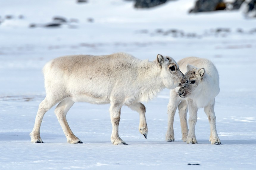 Extreme warming events may sound like bad news to reindeer, but they could help increase population stability