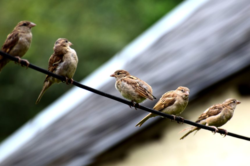 Sparrows may be everywhere, but that doesn't mean that understanding their behaviour is easy
