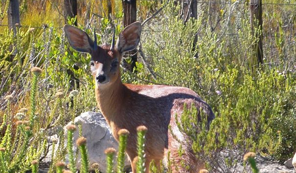 Southafrica-capegrysbok