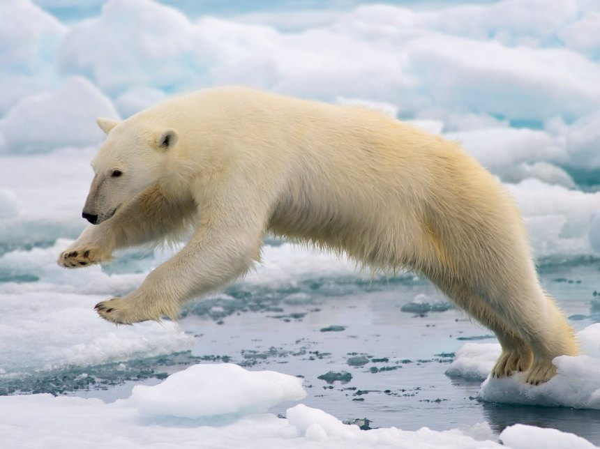 The polar bear has become a symbol of climate change. But can we hinge our expectations for the health of an ecosystem on one species?
