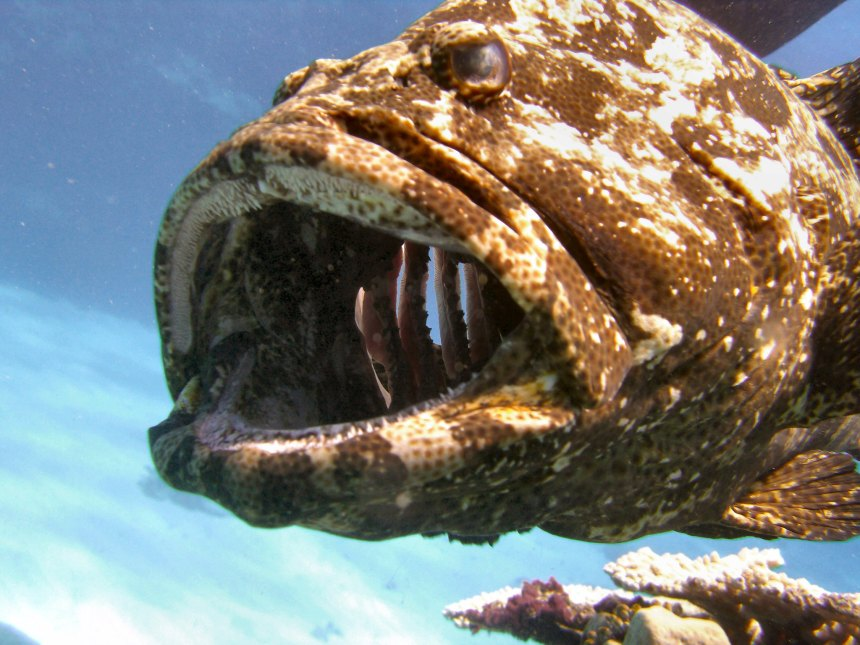 Because of the large appetite of the lionfish and lack of predators in the invasive range, they easily outcompete native fish like this grouper