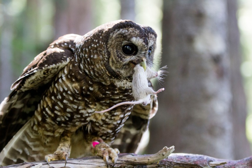 Rare spotted owls are rarely seen at American polling booths