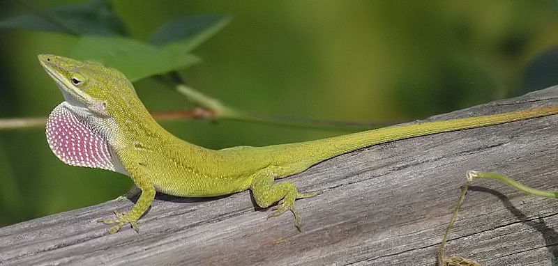 800px-Green_anole