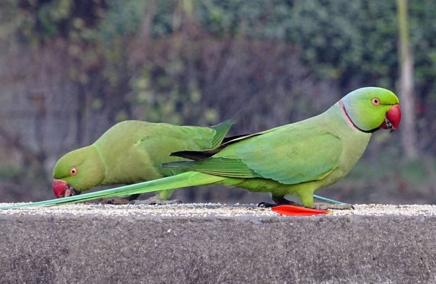 Whilst concerted efforts by conservationists could lessen the impacts of the Ring-necked parakeet on native species, their charisma may lead to public apathy concerning their incursion.