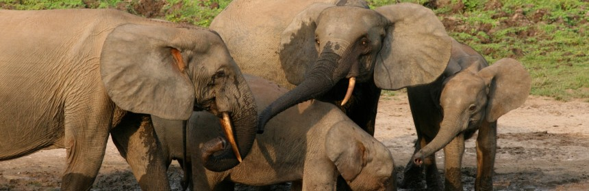 African forest elephants populations are declining rapidly due to local human pressures. But is it fair to expect other humans to live among potential threats to their livelihood?