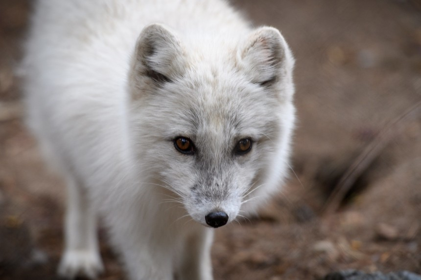 Whilst it may seem intuitive that more resources would increase geese populations, increased Arctic fox populations tend to balance any increase out