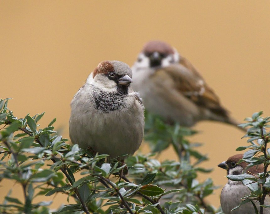 Whilst new technology can make it easy to rush off and construct population models for species like these House sparrows, Bob urges caution, and a greater understanding of the mathematics behind the models