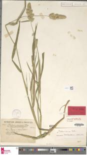 Naturalis_Biodiversity_Center_-_L.3093575_-_Phalaris_minor_Retz._-_Gramineae_-_Plant_type_specimen